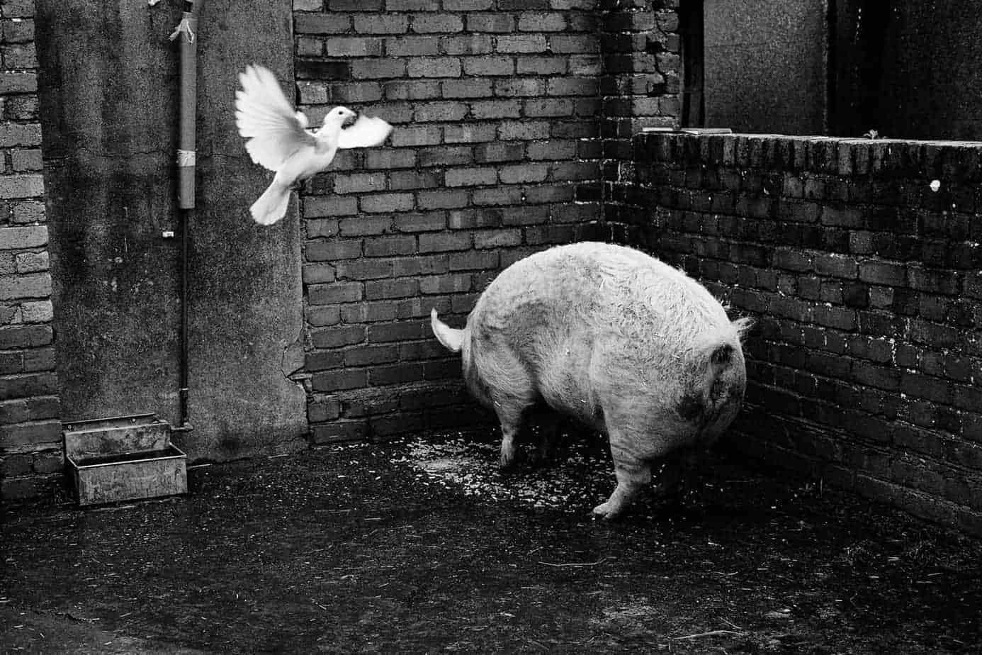 Pig & Dove
